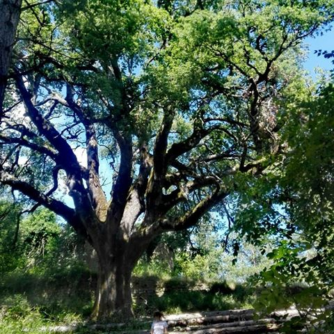 quercia trebbana